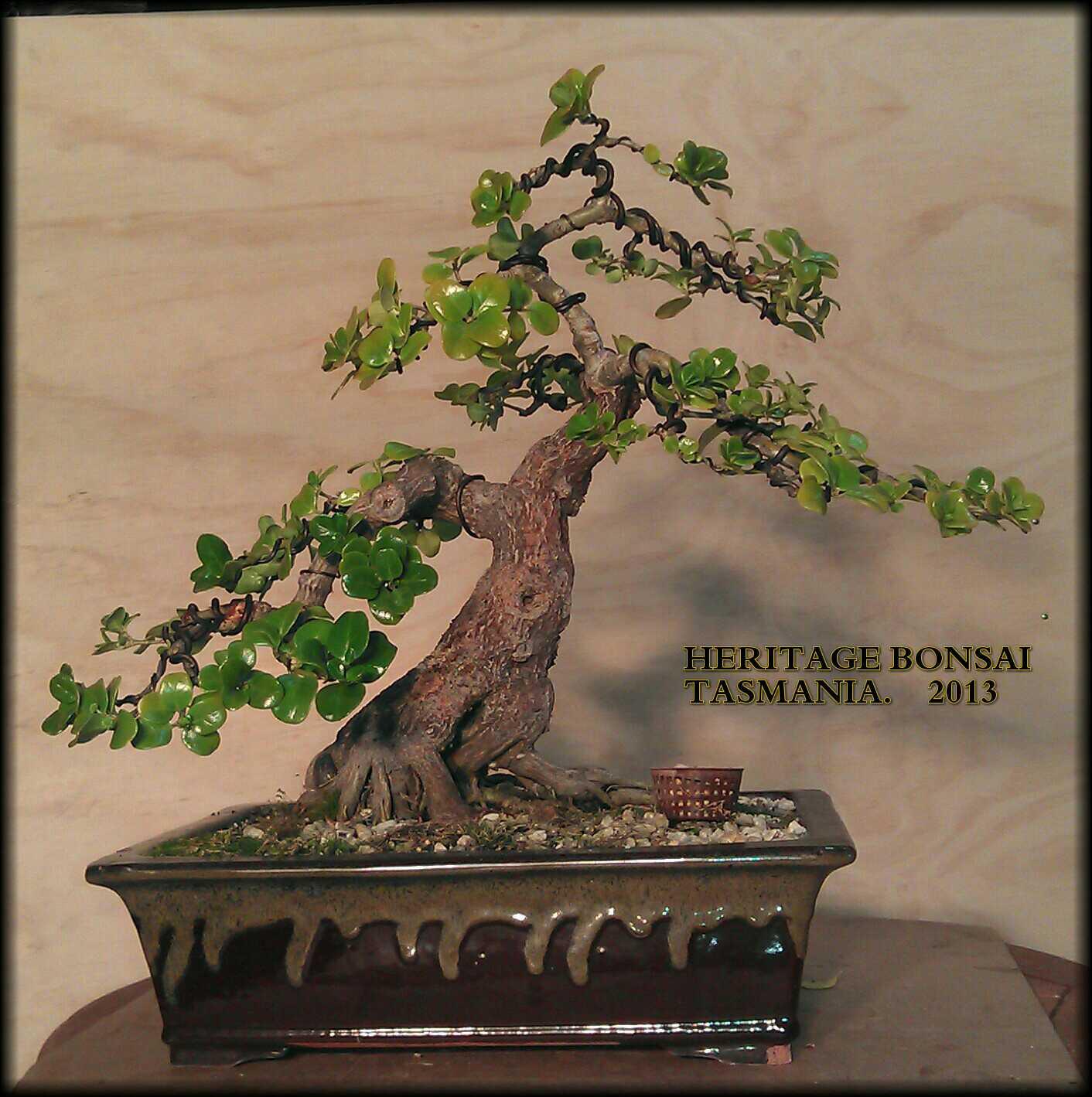 bonsai-heritage-root